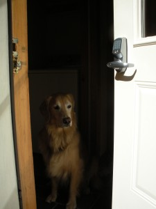 golden retriever sitting inside open doorway