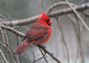 red cardinal on a branch in icy rain