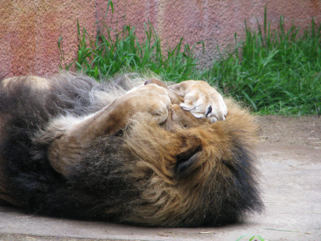 male lion lies on his back with paws over his face